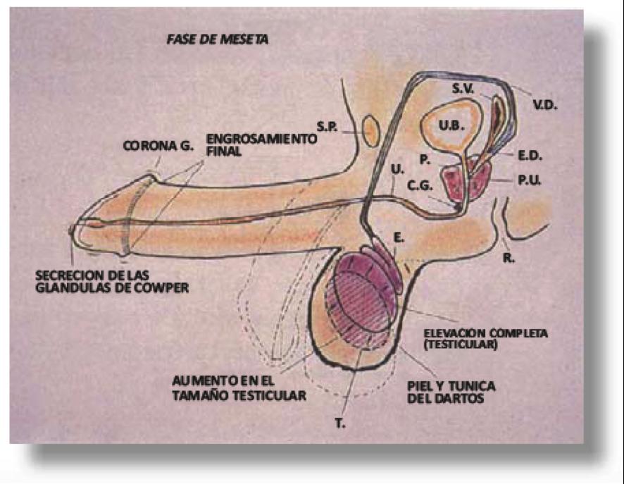 Esquema de la respuesta sexual coital masculina - Programa de ...